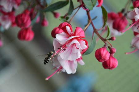 myrtales: flowering fuchsia pink Stock Photo