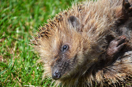 natur: hedgehog in the natur