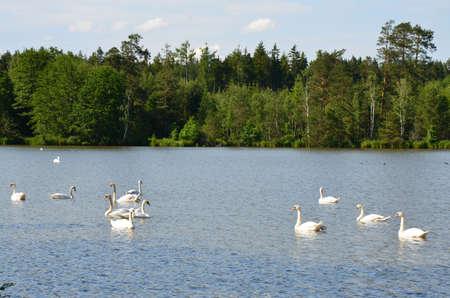 chordates: swans on the lake Stock Photo