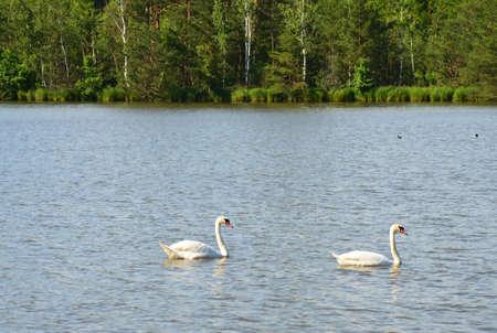 chordates: two swans on the lake Stock Photo