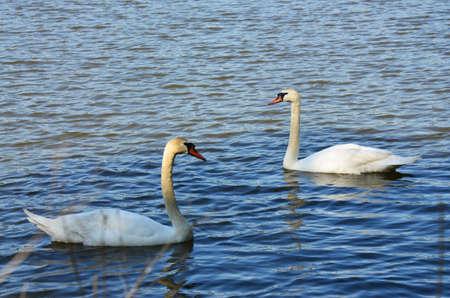 anseriformes: swans on the lake Stock Photo