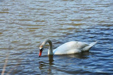 anseriformes: swan