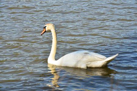 chordates: white swan