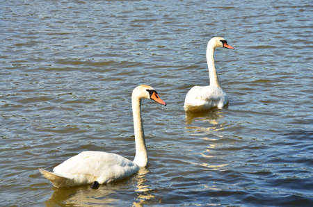 two swans on the lake photo