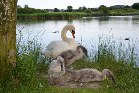 white swans with babies photo