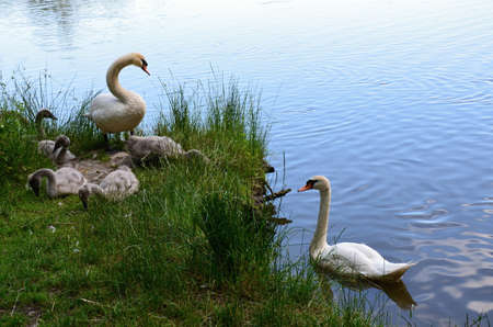 chordates: two white swans with babies Stock Photo