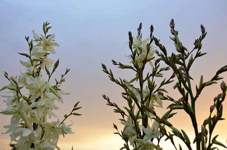 Weißen Blüten Im Garten Yucca Filamentosa Lizenzfreie Fotos, Bilder ...