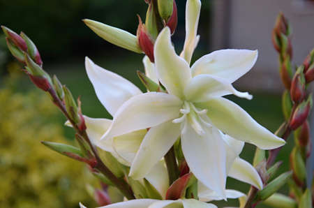 angiosperms: white flowers in garden yucca filamentosa Stock Photo