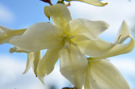 Weiße Blüten Der Yucca Lizenzfreie Fotos, Bilder Und Stock ...