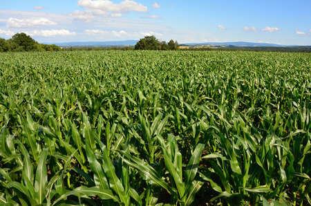 corn field: field of corn