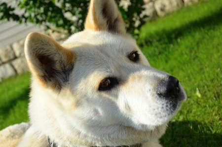 akita: akita inu japanese breed