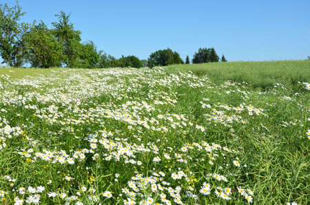 angiosperms: field of herbs chamomile roman