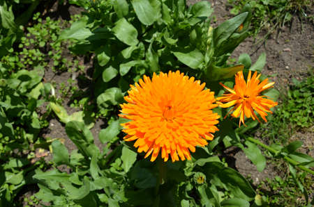 angiosperms: calendula officinalis asterales  flower