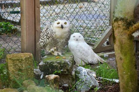 chordates: snowy owls