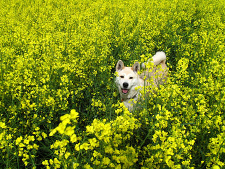 napus: japanese dog Akita Inu in oilseed rape field