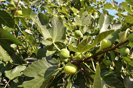 ficus: ficus on the tree