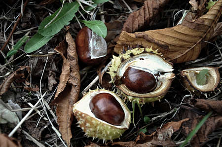 chestnut seeds Stock Photo - 15814125