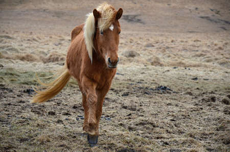 island�s: Island�s caballo en el pasto