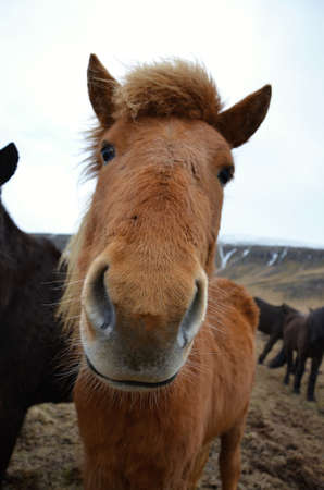 resilient: Icelandic horse detail of head