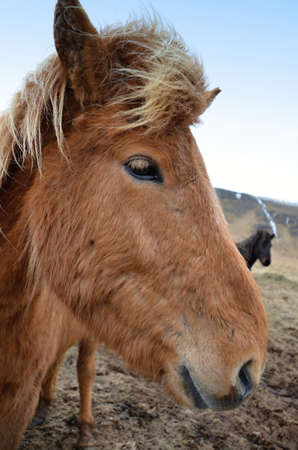 icelandic: Icelandic horse detail of head