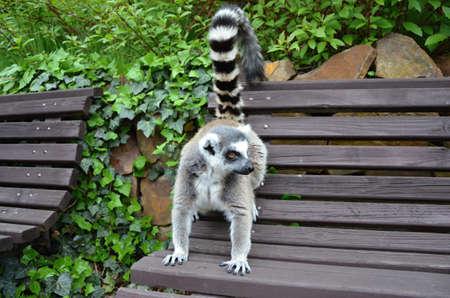 chordates: lemur catta tailed in ZOO Prag