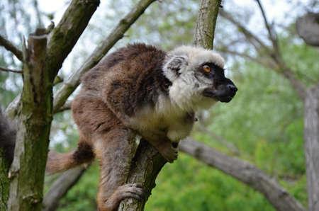 chordates: Bald lemur in ZOO Prag Stock Photo