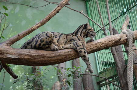 clouded leopard: clouded Leopard in the ZOO Prague Stock Photo