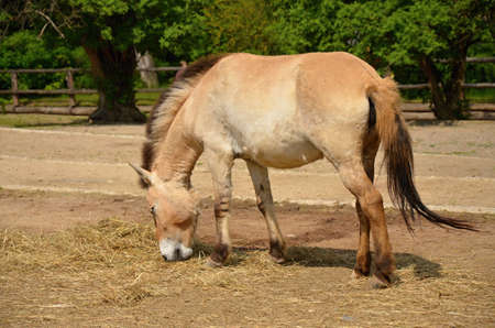 ungulates: Przewalski s Horse in the ZOO Prague