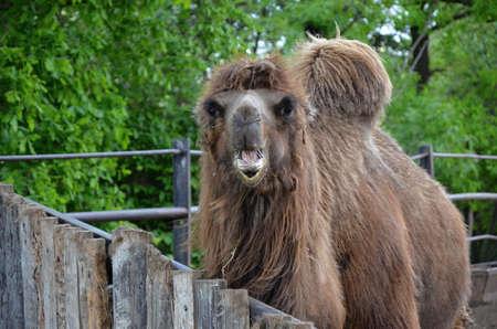 chordates: camel wild animal in the  ZOO Prague
