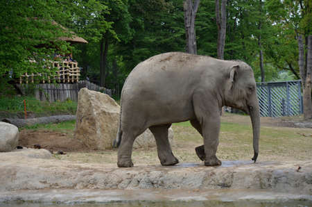chordates: elephant wild animal in the ZOO Prague
