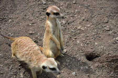chordates: meerkat Suricata suricatta  animal in captivity
