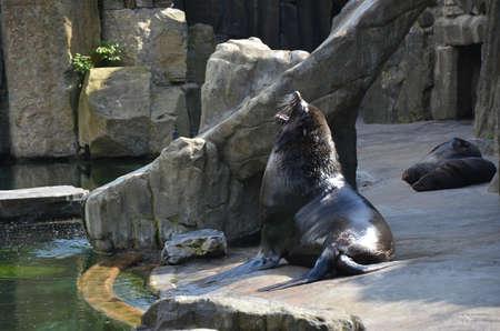chordates: sea lions in zoo Prague Stock Photo