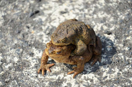 reproduction: toad frog in reproduction