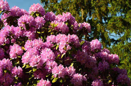 ericaceae: shrub Rhododendron with pink flowers  Stock Photo