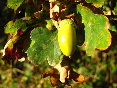 quercus: detail of fruit acorn oak Quercus