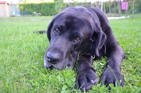 chordates: detail of head black dog on the tree Stock Photo