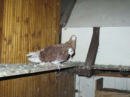 curly dove in the henhouse brown and white feathers photo