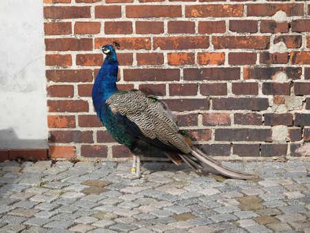 chordates: peacock flightless bird Stock Photo