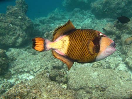 Triggerfish marine life in Indian ocean