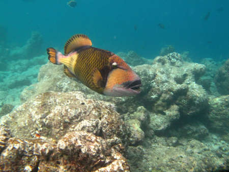 balistoides: Triggerfish marine life in Indian ocean