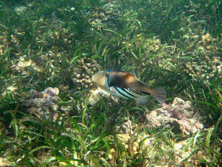 triggerfish: Triggerfish, Rhinecanthus assai marine life in Indian ocean Maledives Stock Photo