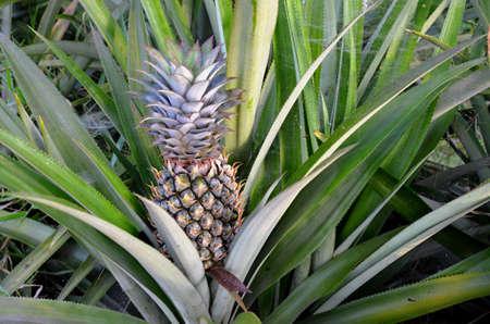 detai: detail of fruit pineapple  Stock Photo
