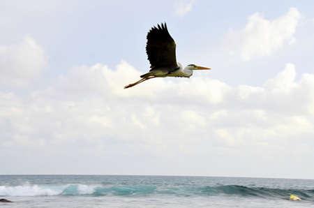 chordates: Great Blue Heron on the sea coast