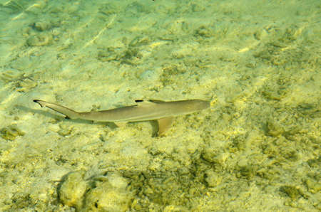 chordates: Shark in the water Carcharhinus