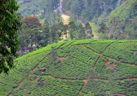 tannins: Tea plantation with green shrubs in Highland Sri Lanka