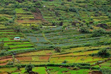 theine: Tea plantation with green shrubs in Highland Sri Lanka
