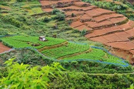 theine: Green Tea plantation and brown fields  in Highland Sri Lanka Stock Photo