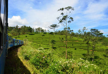 theine: Tea plantation with green shrubs in Highland Sri Lanka-view from moving train