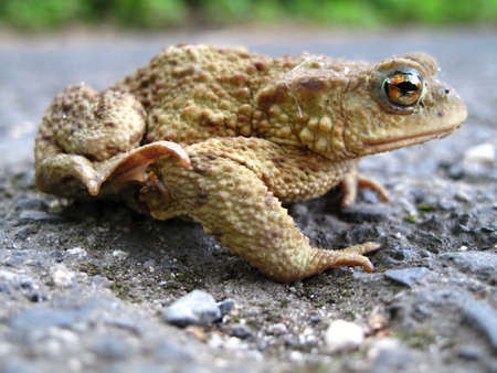 chordates: The common toad- Bufo bufo Stock Photo