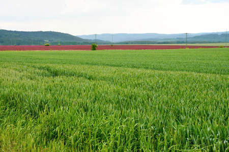 incarnate: a Field of red Incarnate clover